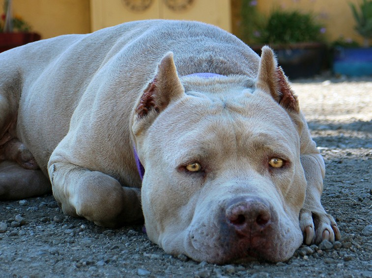 legalize love pitbulls and their brutal Please check before getting a pit bull that it is legal to own this was a brutal sport where two dogs many people report that their dogs just love to.