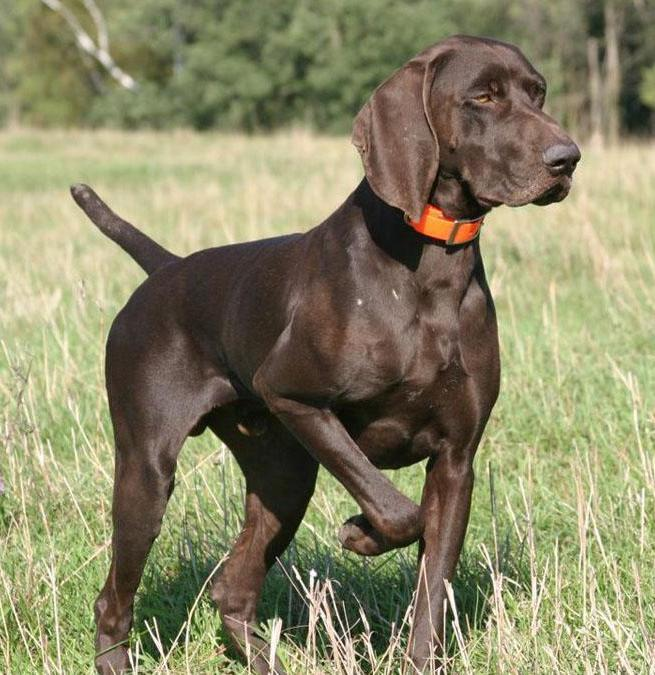 100 German Shorthaired Pointer Shed Hunting