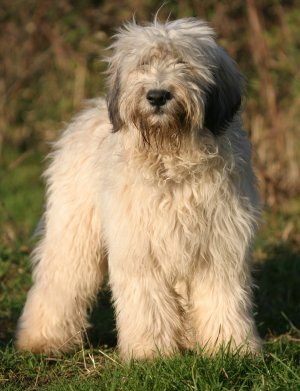 Shaggy Dog Breeds For Sale