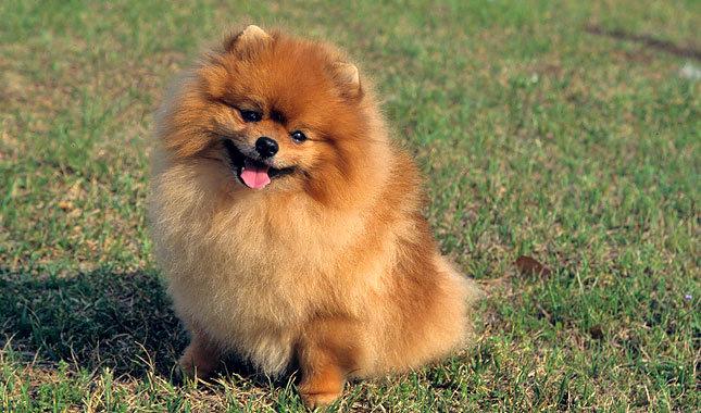 Pomeranian Characteristics Pomeranian History, Pe...