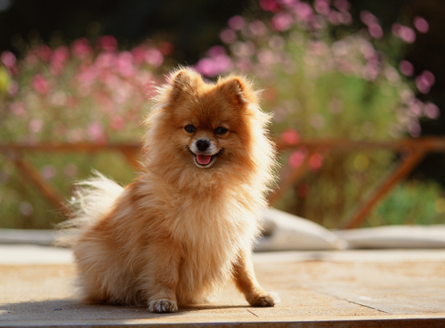 Pomeranian History Personality Appearance Health And Pictures