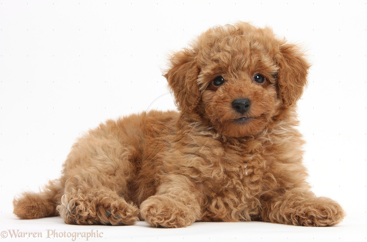 Poodle History, Personality, Appearance, Health and Pictures