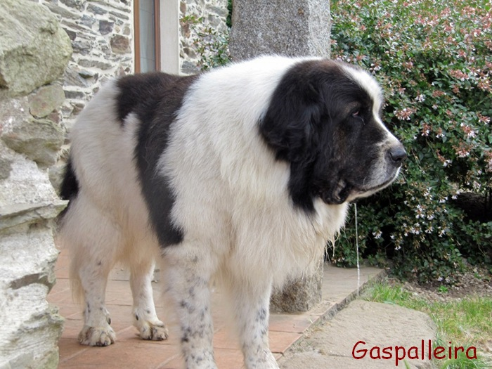 Pyrenean Mastiff History, Personality, Appearance, Health ...