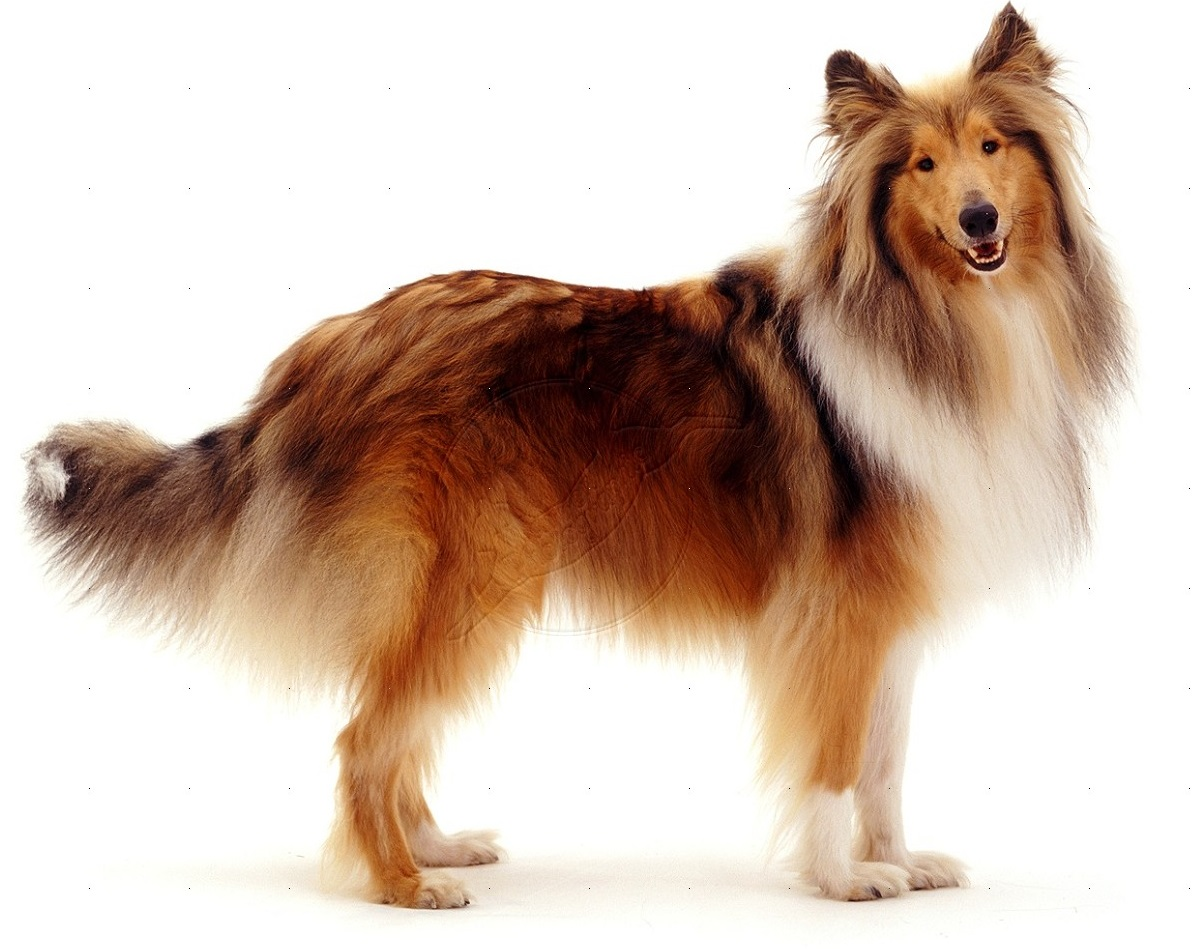 Rough Collie History Personality Appearance Health And