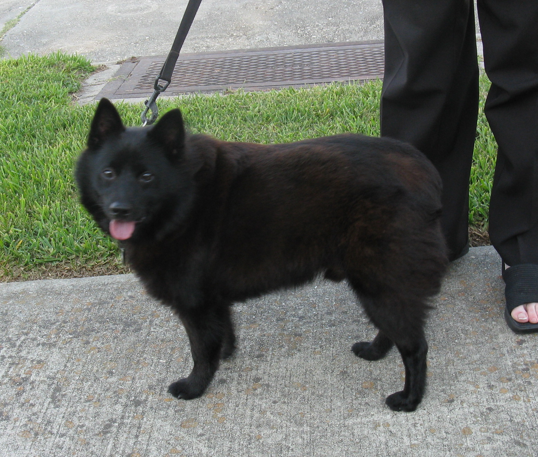 schipperke history personality appearance health and pictures