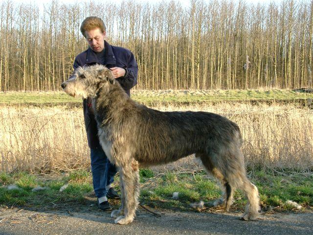 Scottish Deerhound History Personality Appearance