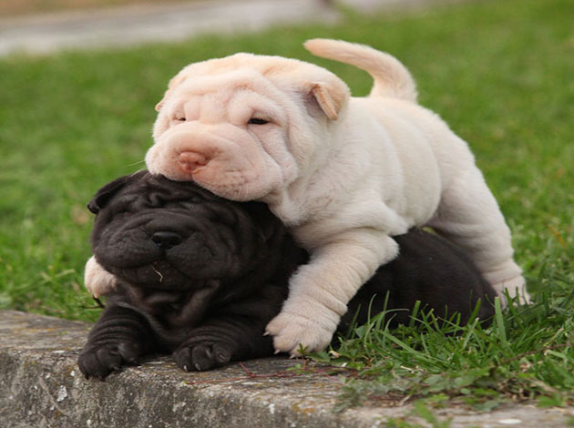 shar pei history personality appearance health and pictures