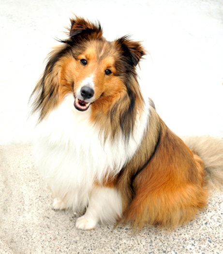 http://elelur.com/data_images/dog-breeds/shetland-sheepdog/shetland-sheepdog-03.jpg