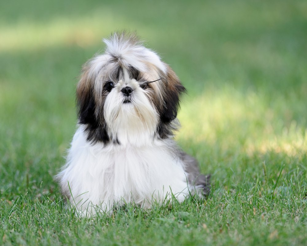 Shih Tzu History Personality Appearance Health And Pictures