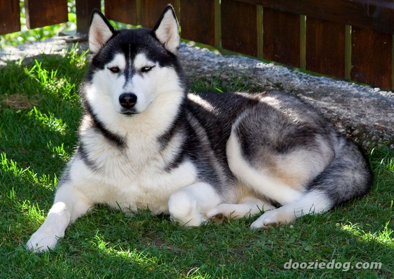 siberian husky training books pdf