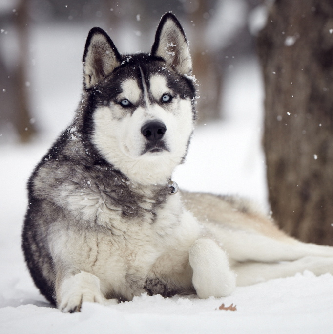 Siberian Husky History Personality Appearance Health And Pictures