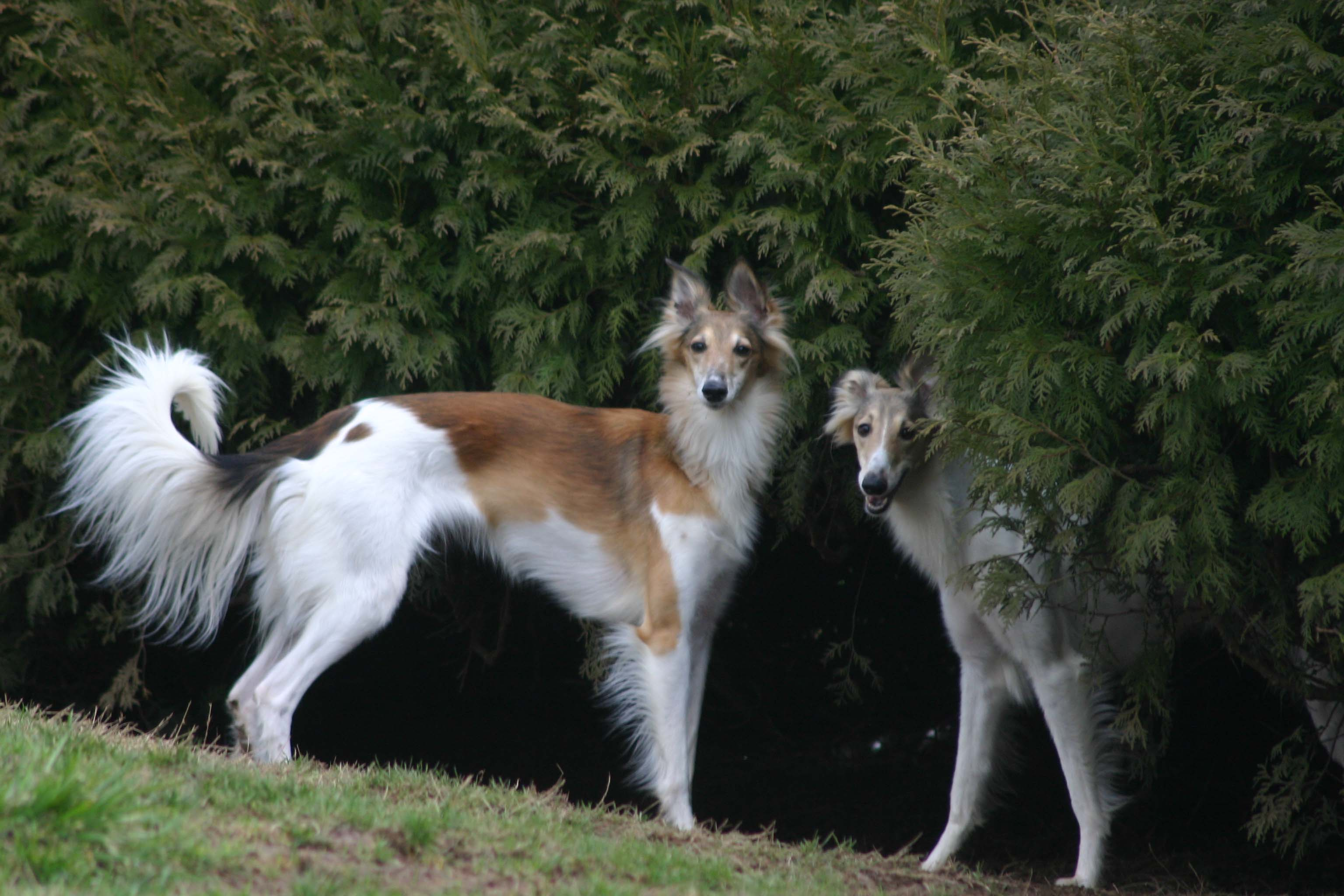 Silken Windhound History Personality Appearance Health