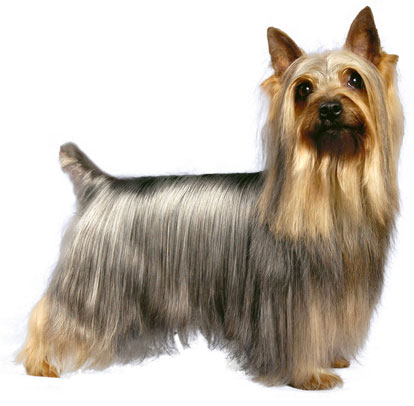 silky terrier history personality appearance health and