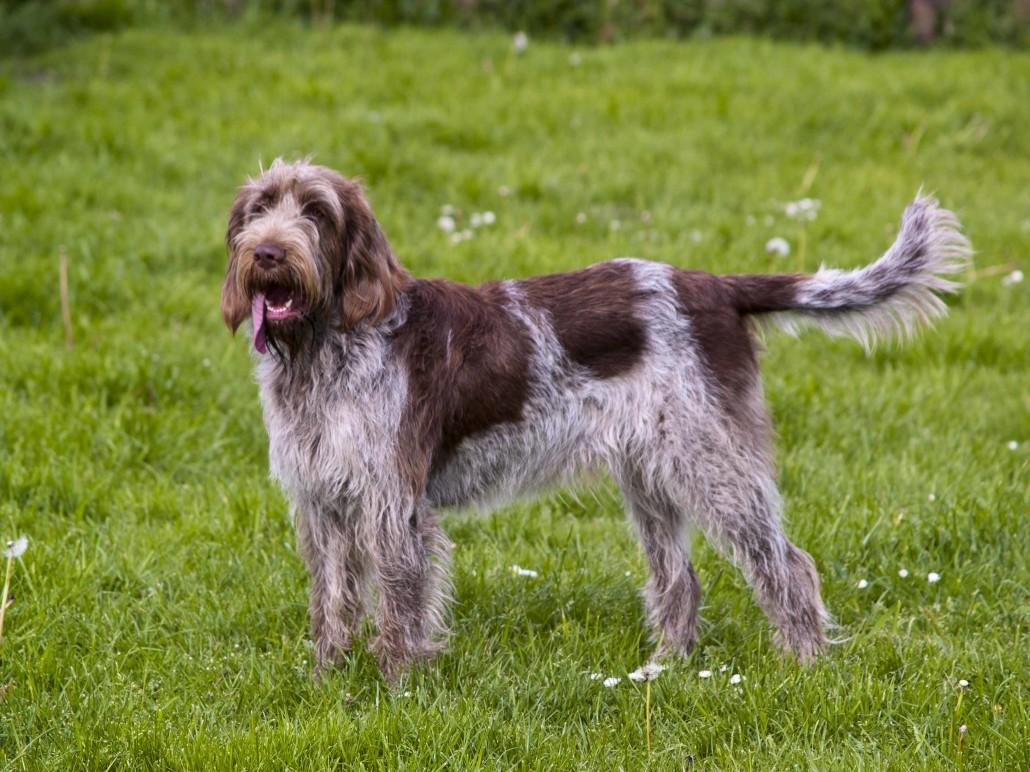 Spinone Italiano Breed...