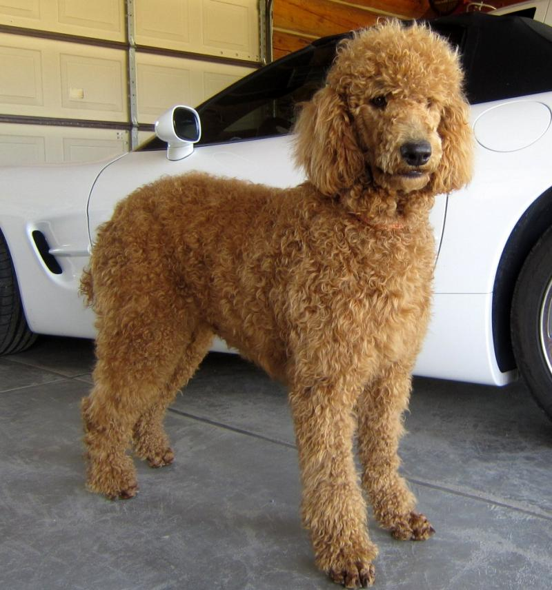 Standard Poodle History, Personality, Appearance, Health ...