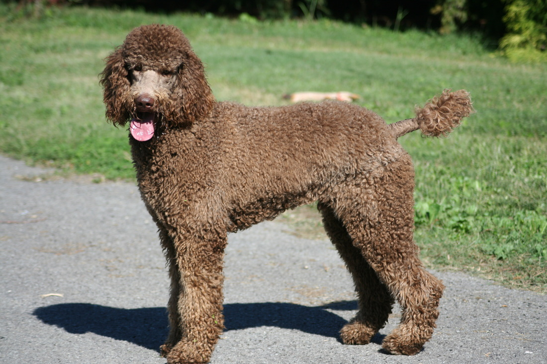Image standard poodle – Dogs our friends photo blog