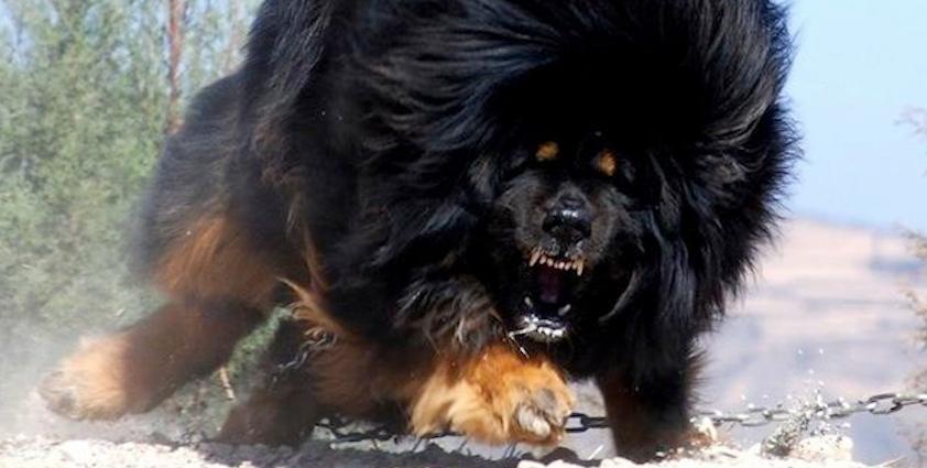 Tibetan Mastiff History Personality Appearance Health