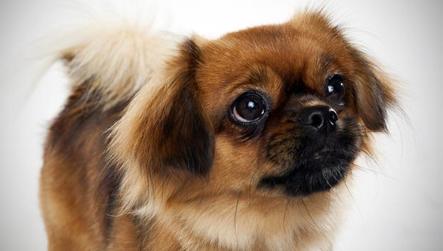 What Are The Four Smallest Dog Breeds