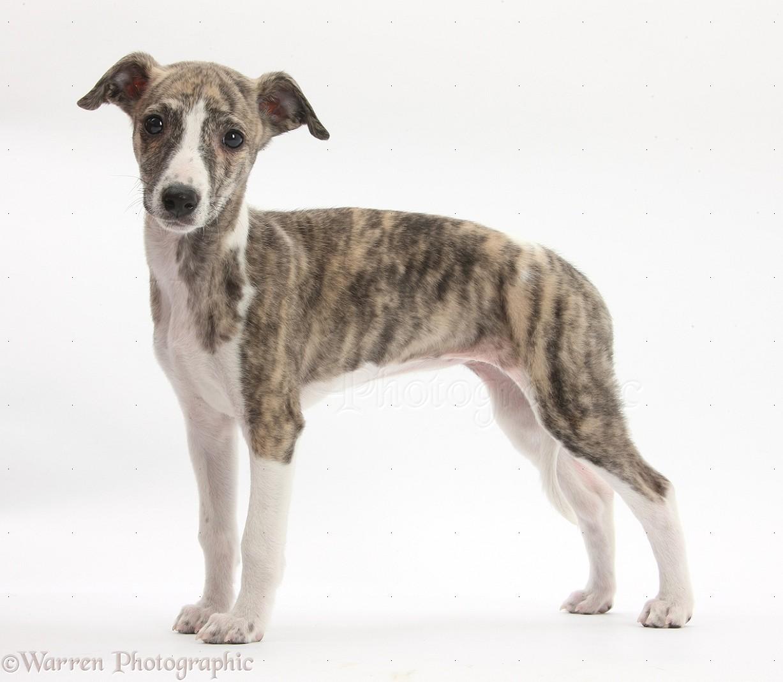 Dog Breeds Whippet Terrier