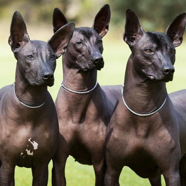 Xolotl Dog For Sale
