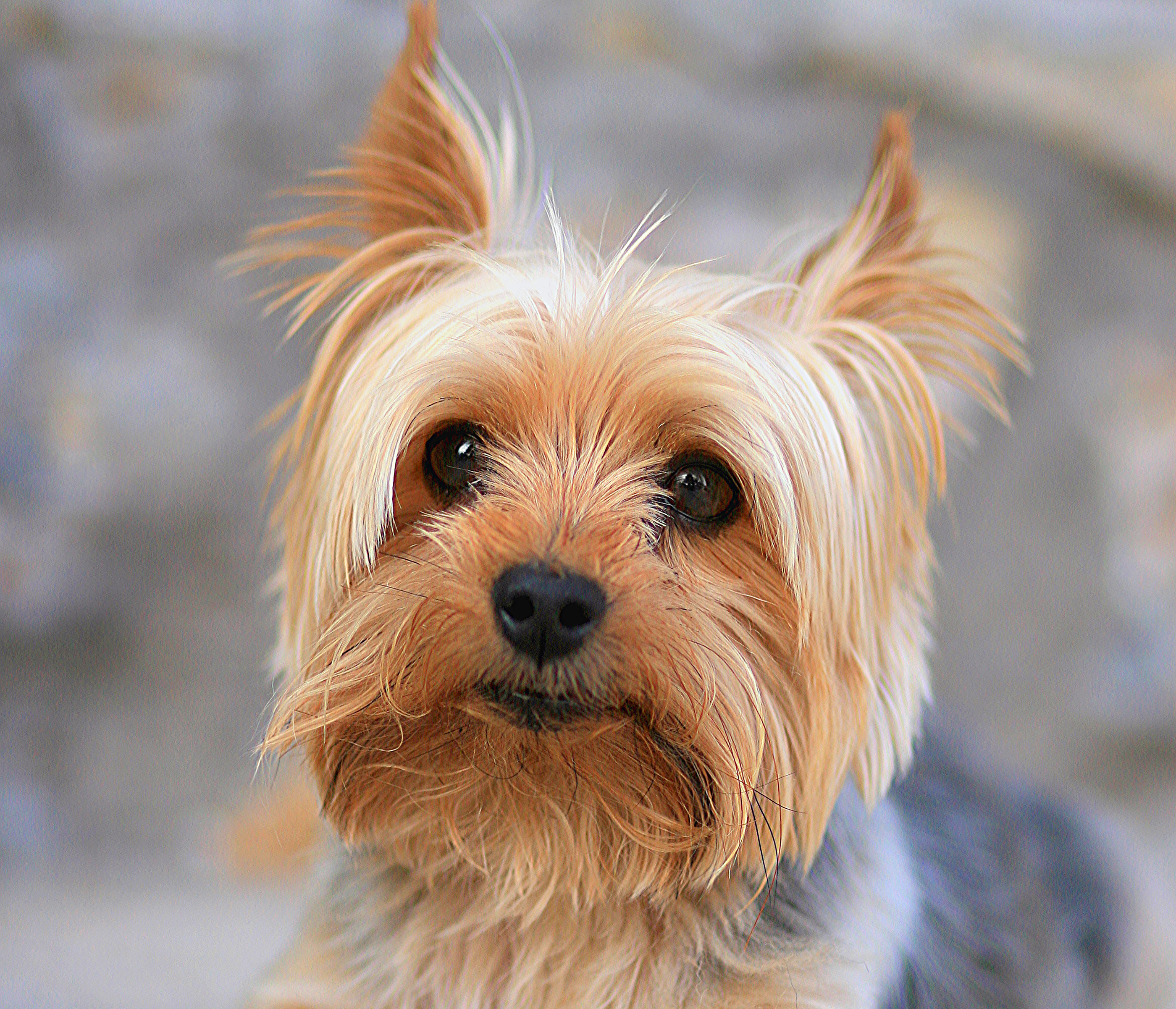 What Does A Yorkshire Terrier Dog Look Like