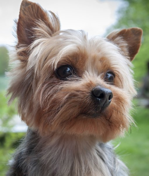 Yorkshire Terrier History, Personality, Appearance, Health ...