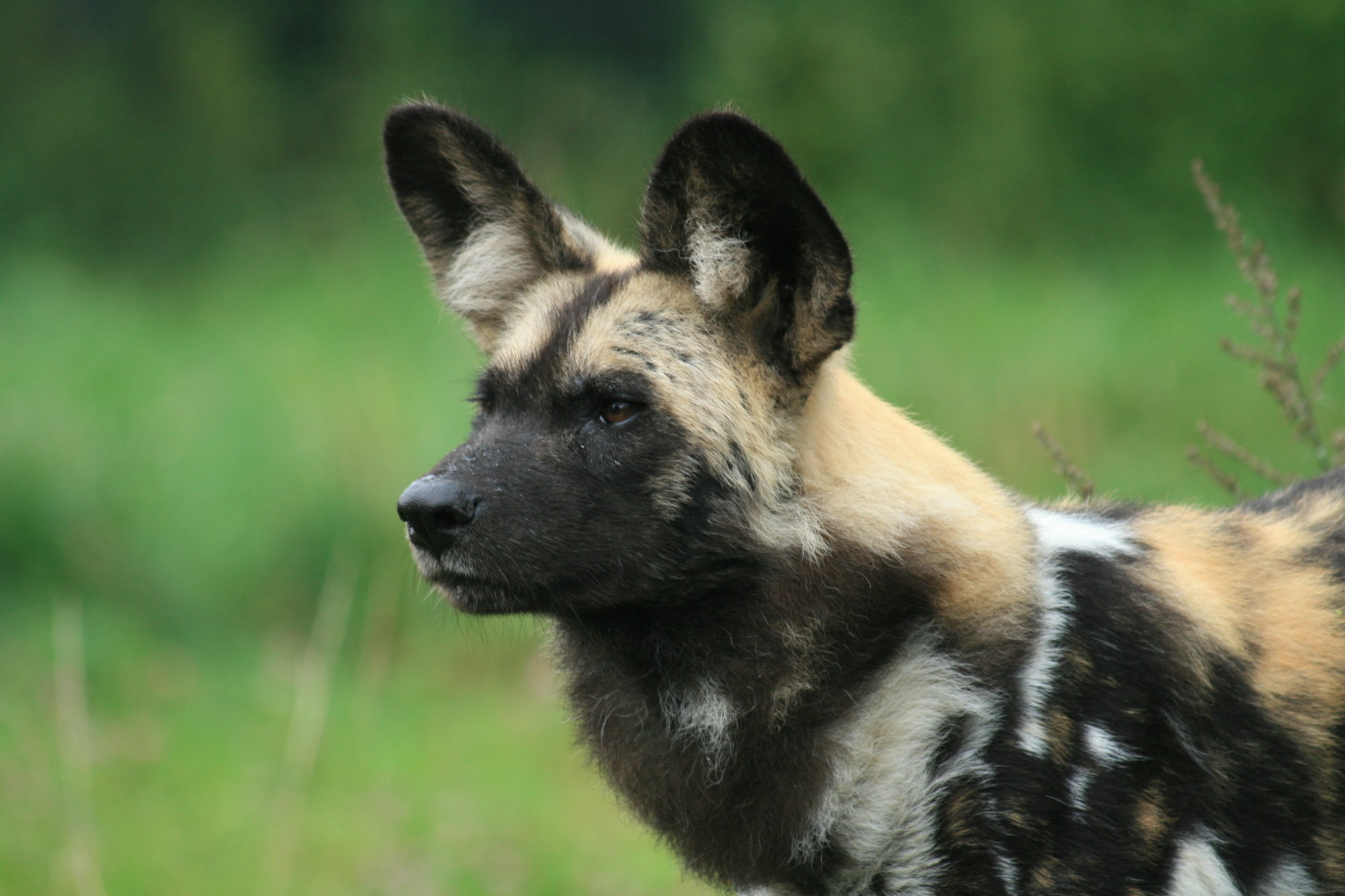 African Wild Dog Facts History Useful Information And