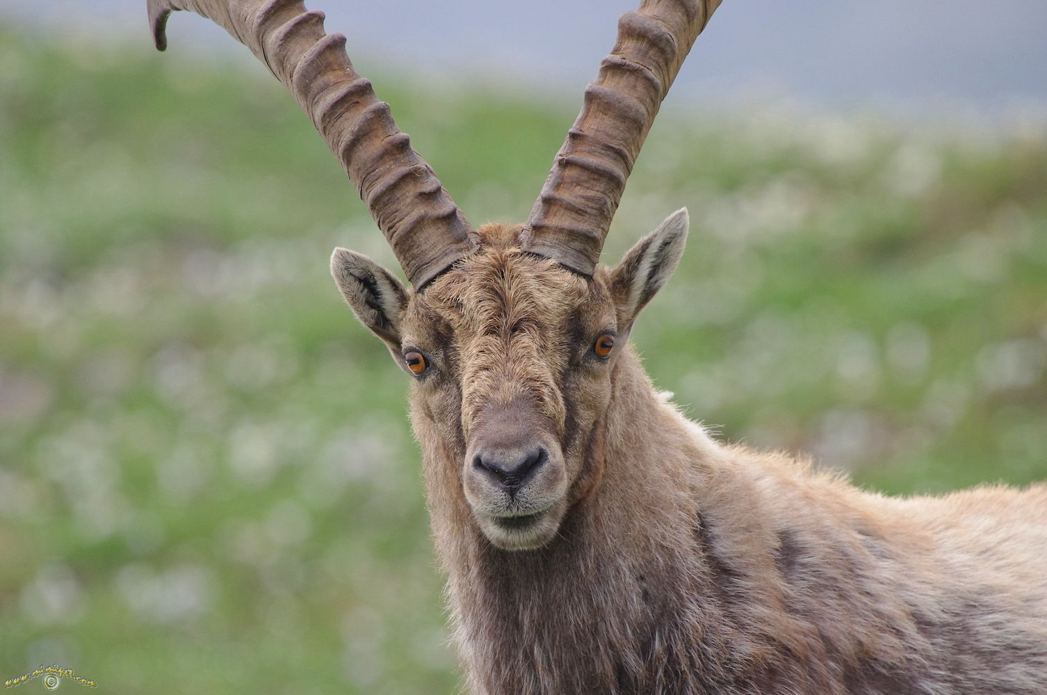 Alpine Ibex Facts History Useful Information And Amazing
