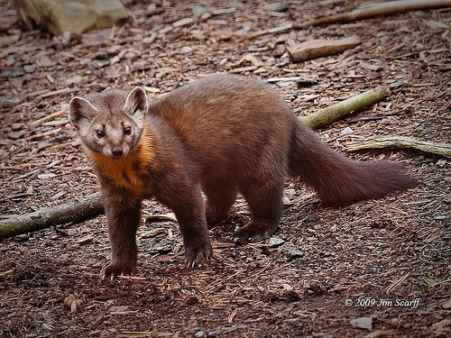 American Marten Facts History Useful Information And
