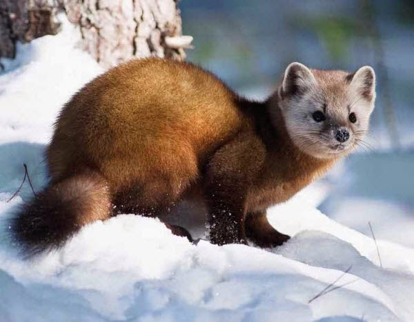 baby american marten www pixshark com images galleries weasel face clipart weasel clipart black and white