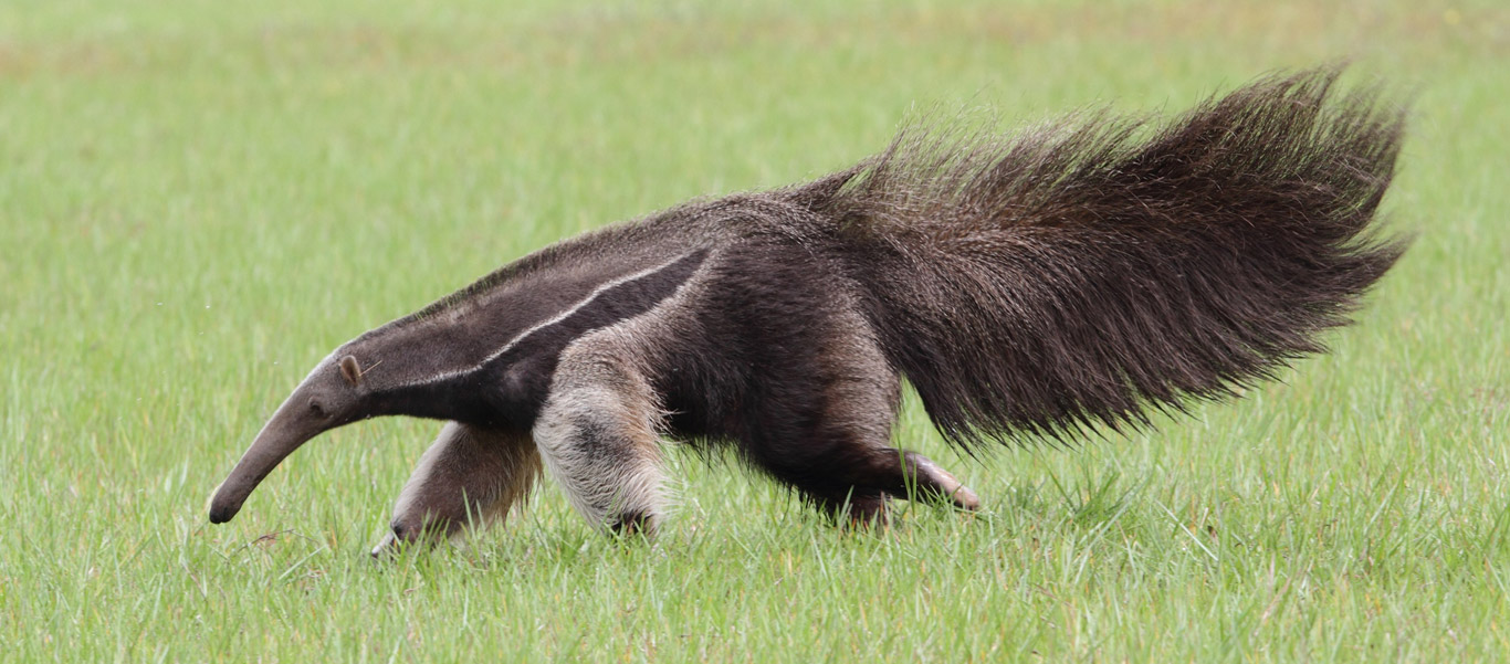 anteater facts history useful information and amazing