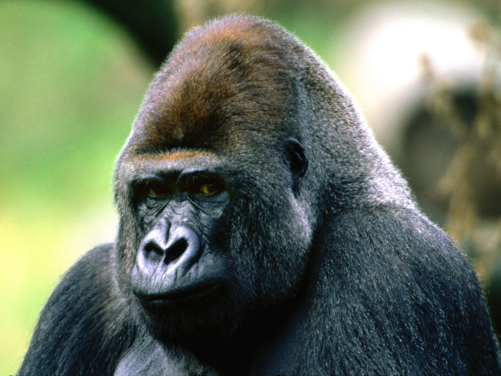 ape facts history useful information and amazing pictures