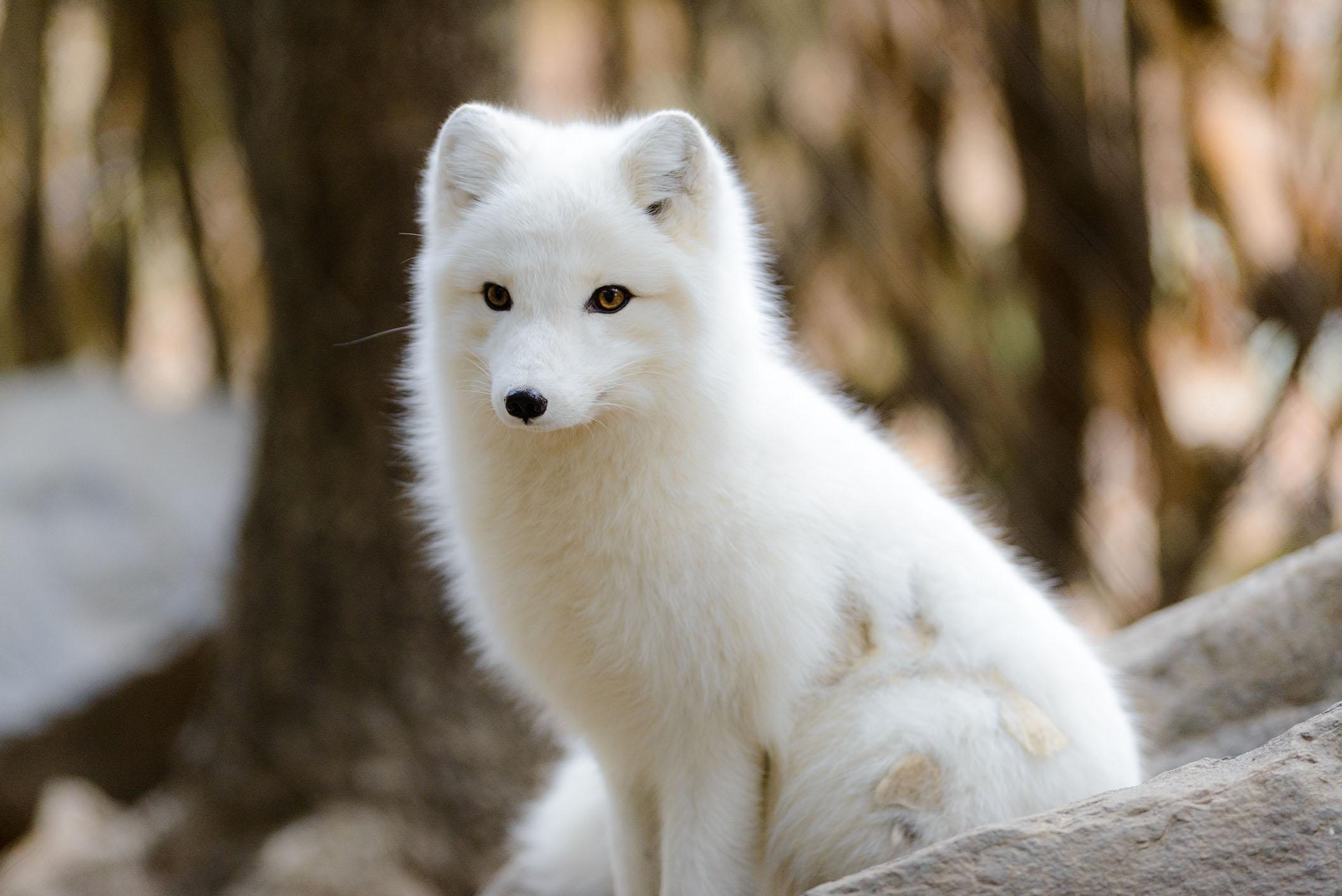 Dark Mirror Arctic-fox-02