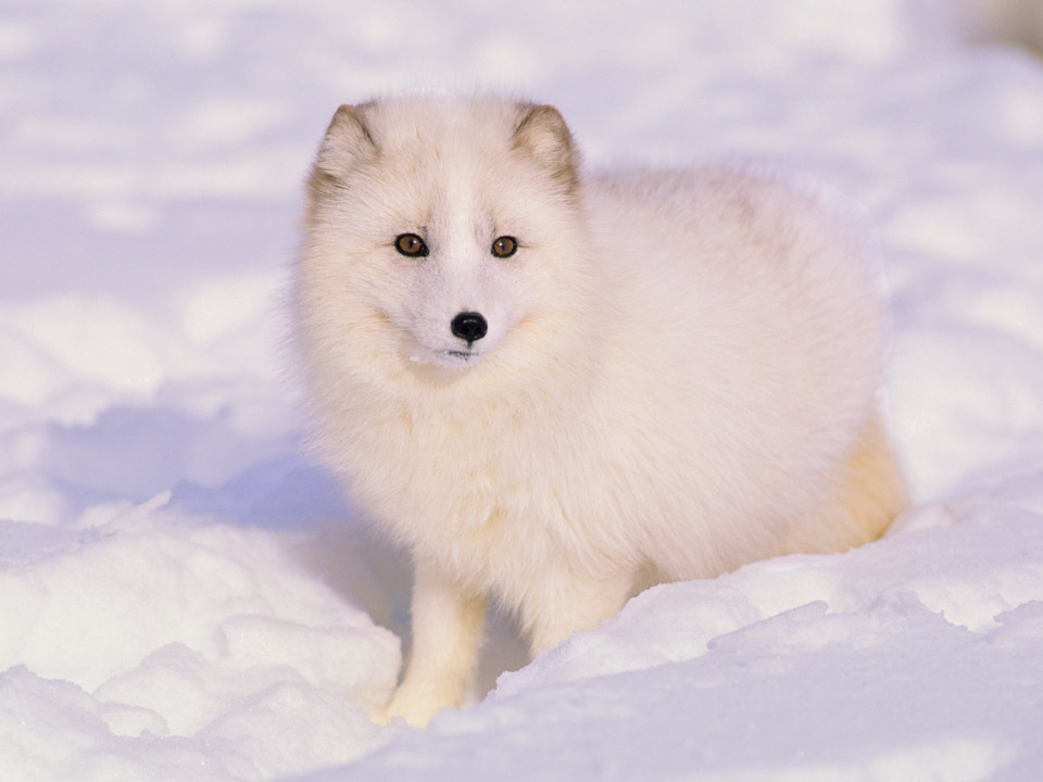 Arctic Fox Facts, History, Useful Information And Amazing