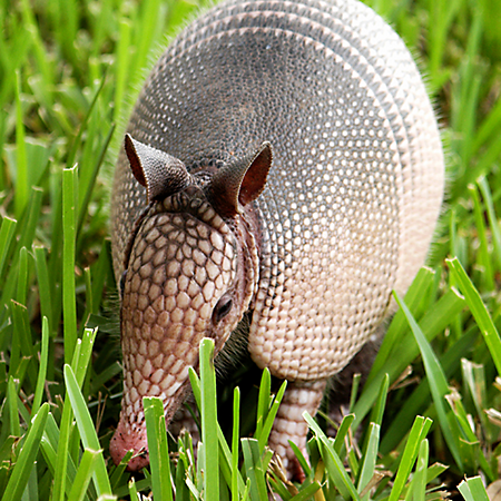 Armadillo Facts History Useful Information And Amazing