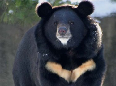 Asian Black Bear Facts History Useful Information And