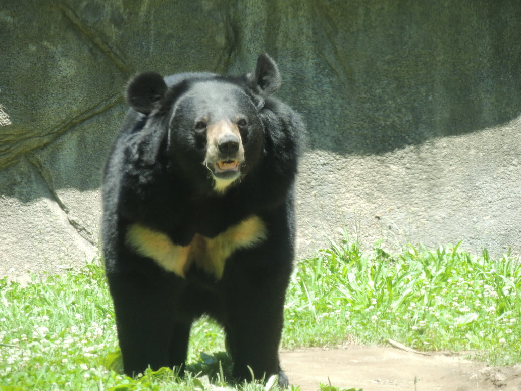 black bear facts history useful information and amazing