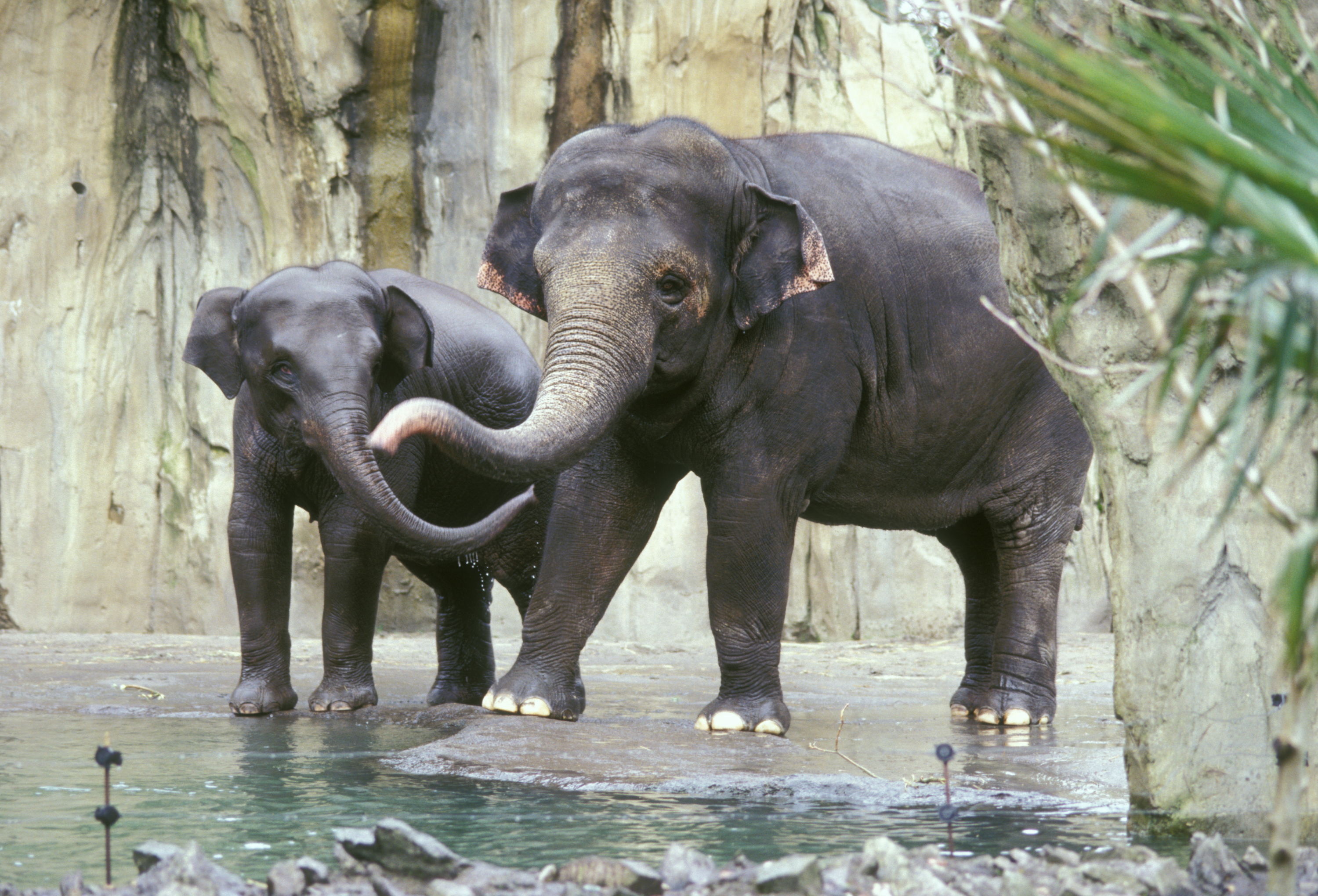 Asian Elephant Facts, ...