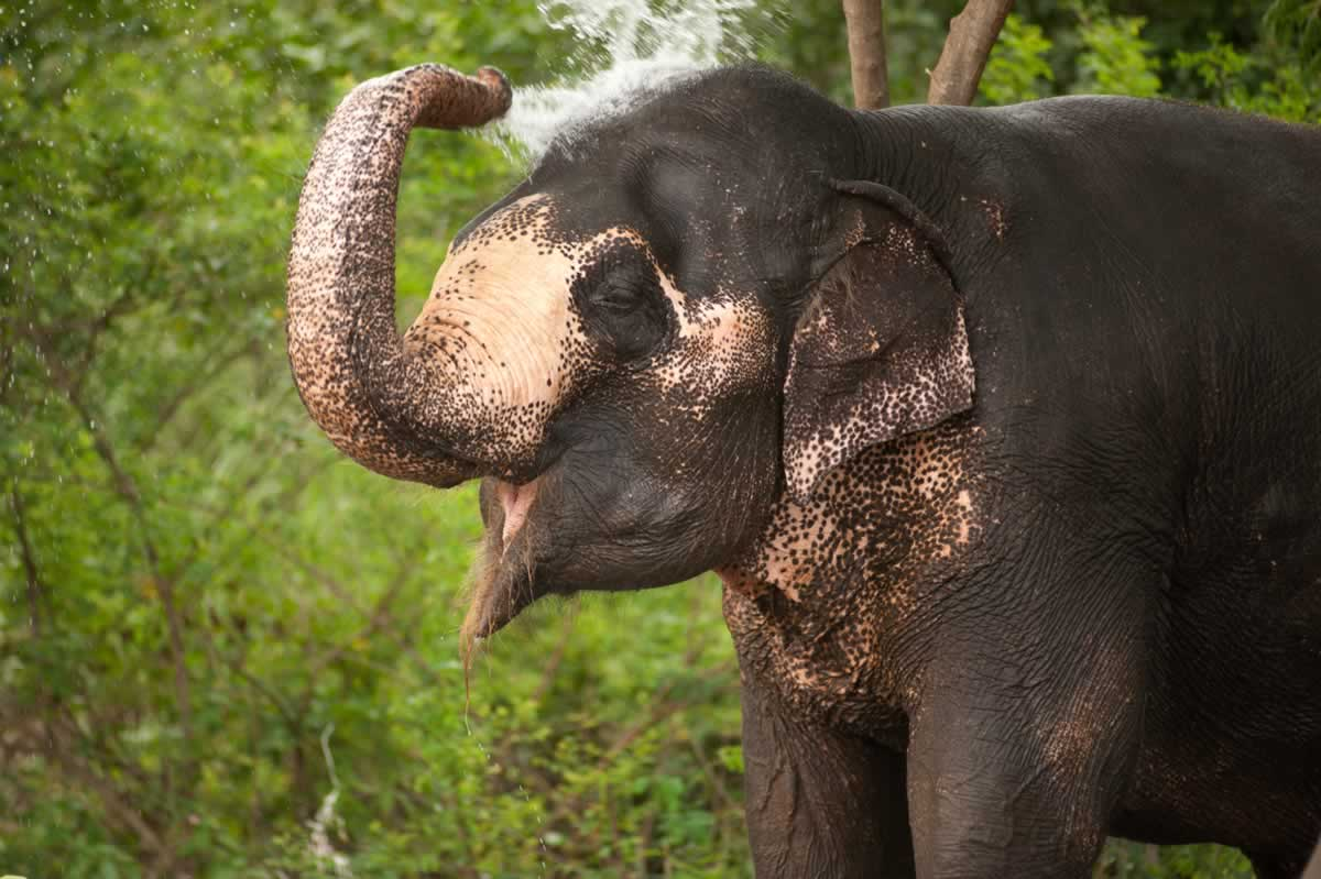 Asian Elephant Facts History Useful Information And
