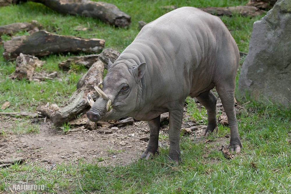 babirusa facts history useful information and amazing