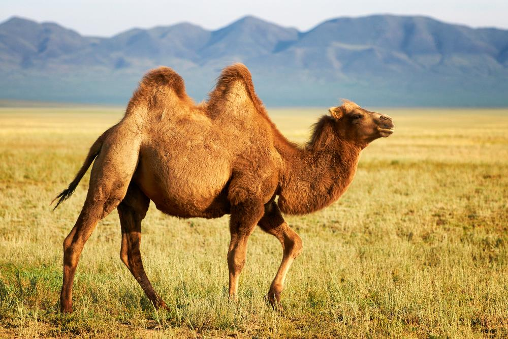 bactrian camel facts history useful information and