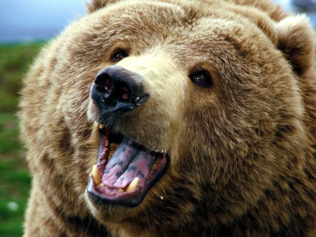 bear facts history useful information and amazing pictures