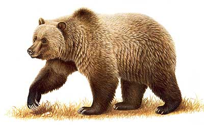 Bear Facts, History, Useful Information and Amazing Pictures - photo#50