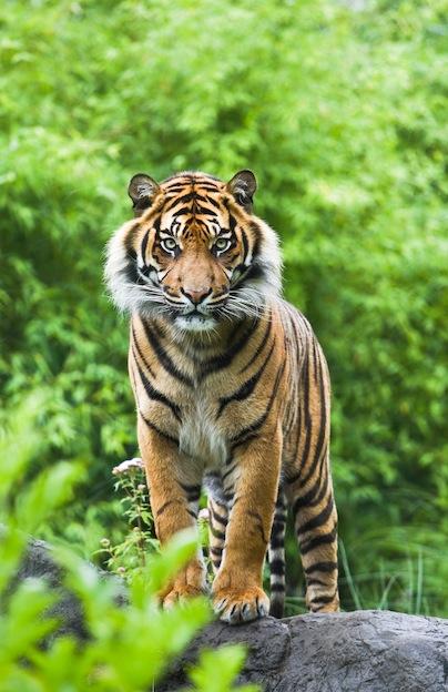 Begal Tiger