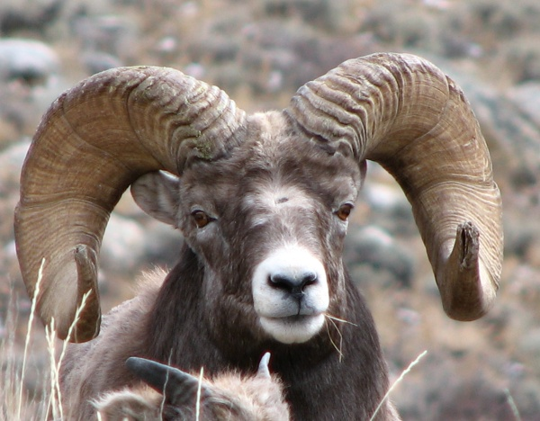 bighorn sheep facts history useful information and
