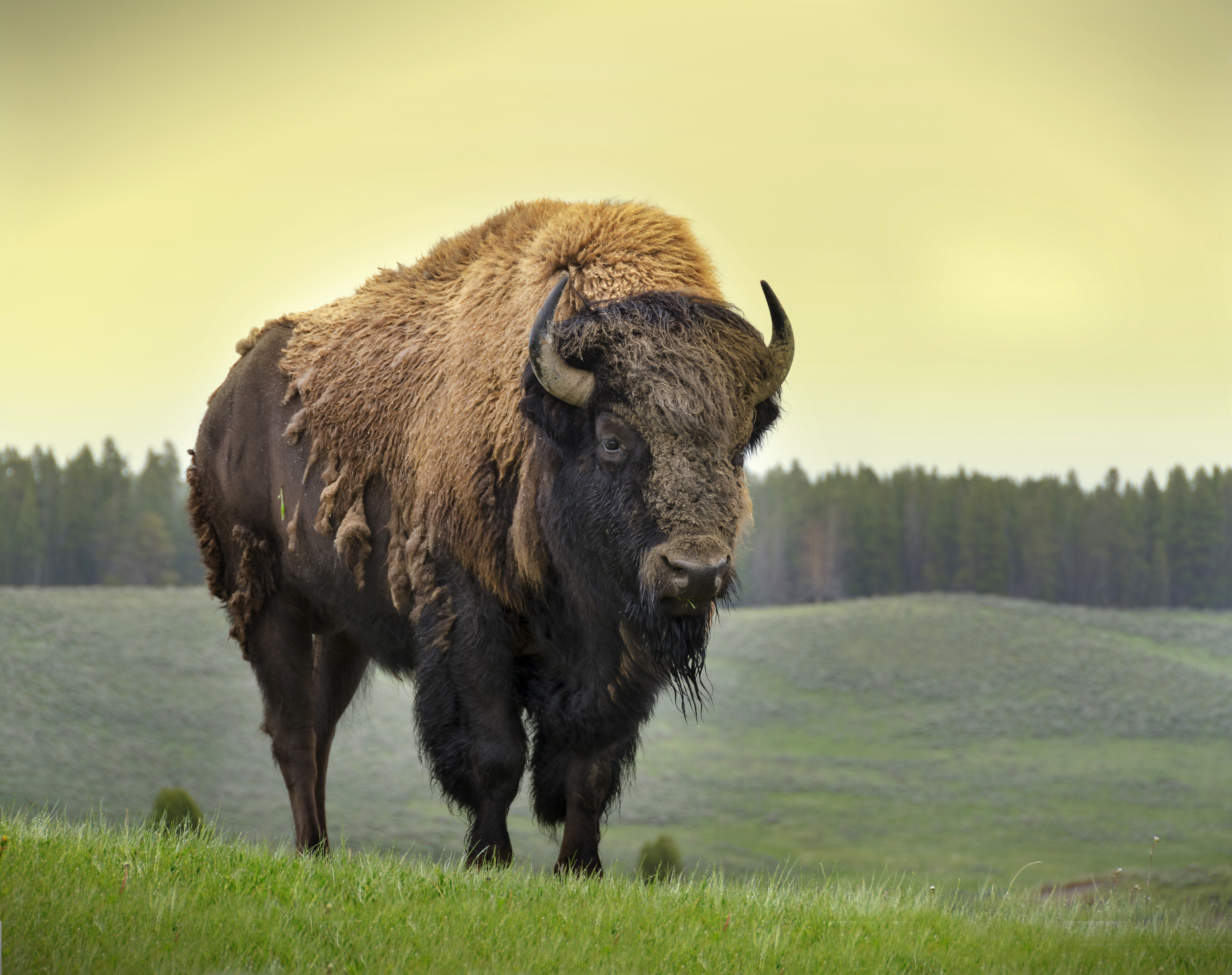 A Bison Eats Bison Facts, History, ...