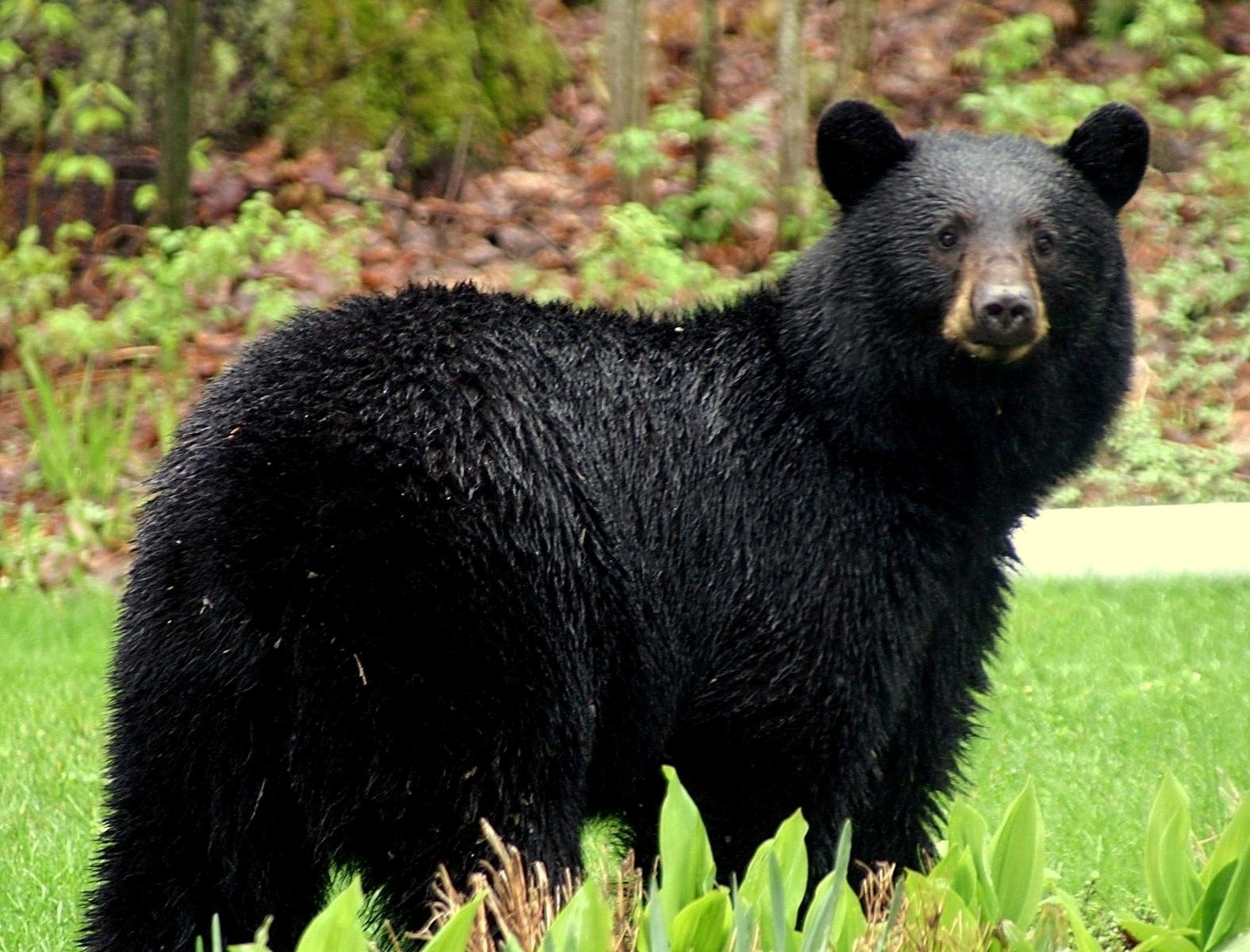 Curran Black Bear Festival