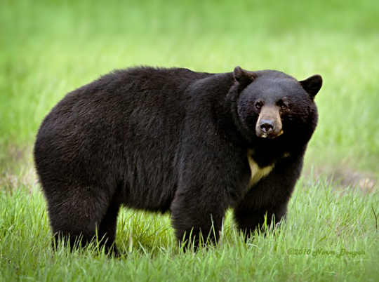 Art Lander'-s Outdoors: Black bears find a home in Eastern Kentucky ...