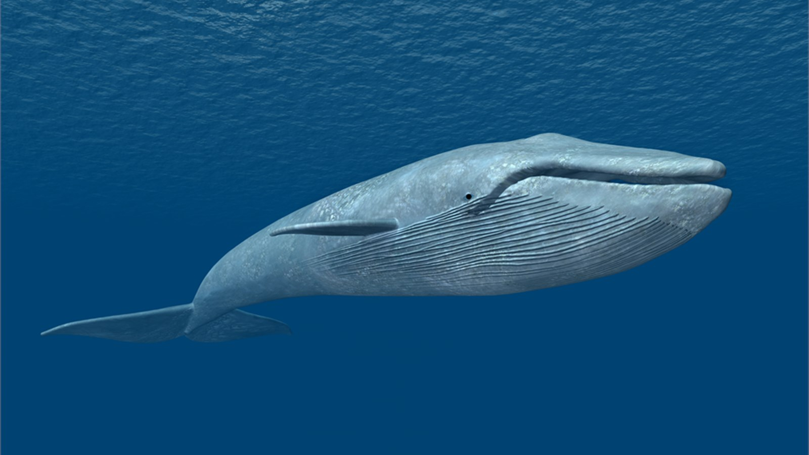 Blue Whale Facts, History, Useful Information and Amazing Pictures