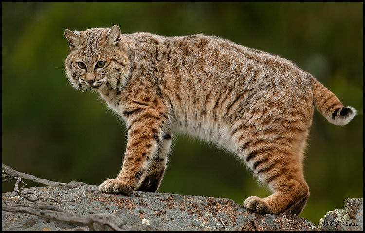 bobcat facts history useful information and amazing pictures